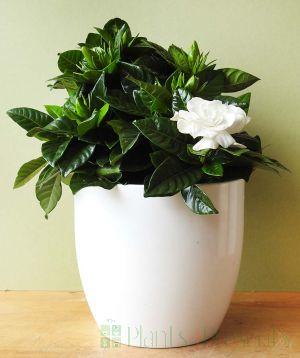 Gardenia plants