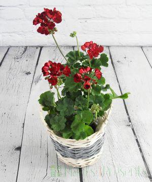 Dark Red Geranium