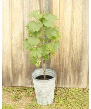 Pinot Noir Grape vine 2019