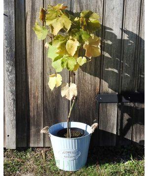 Chardonnay Grapevine