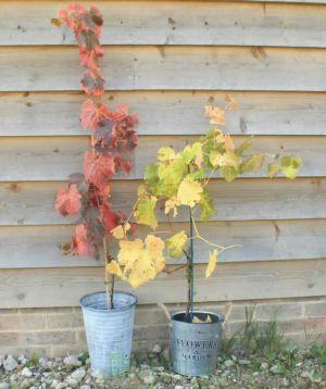 Autumnal Grape vines