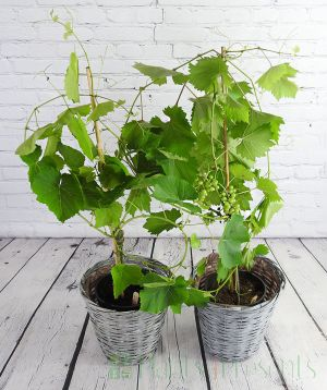 Pair of Grapevines