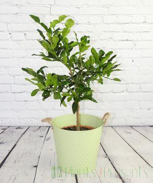 large Kaffir Lime