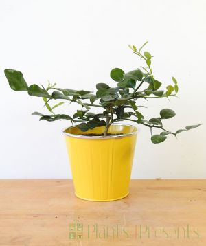 Kaffir Lime Baby