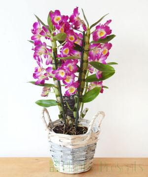 Pink spray orchid in full flower