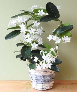 Stephanotis plant delivered