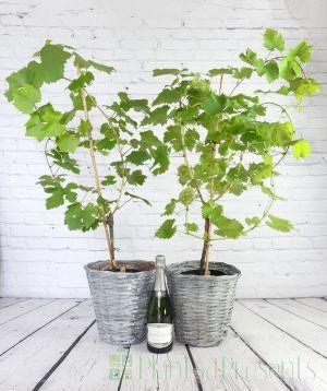 Sparkling vine and grapevine gift set