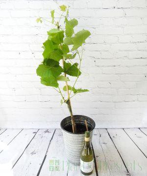 Vine and Wine
