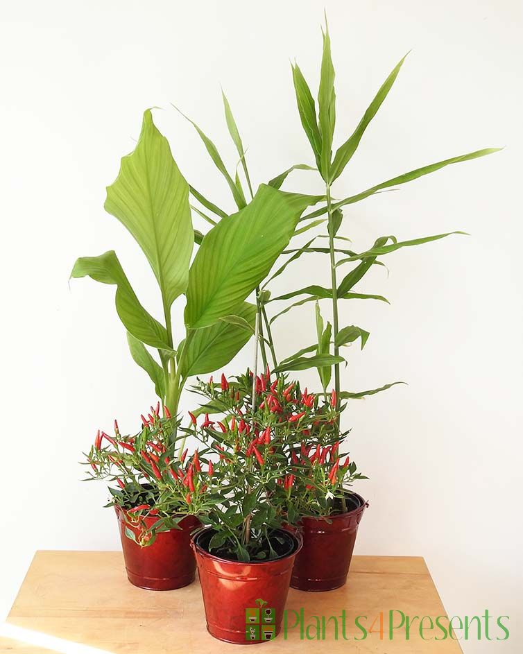 Chill, Tumeric and Ginger Plants