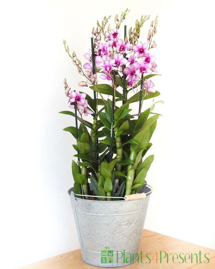 Giant Dendrobium Orchid