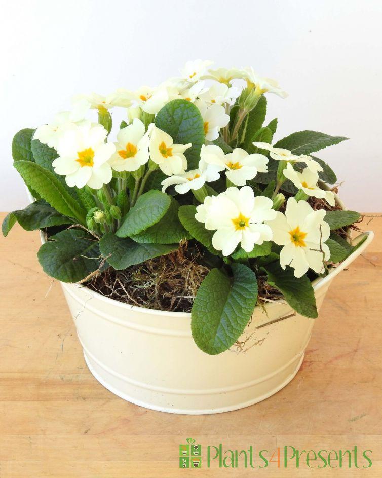Cream primrose planter