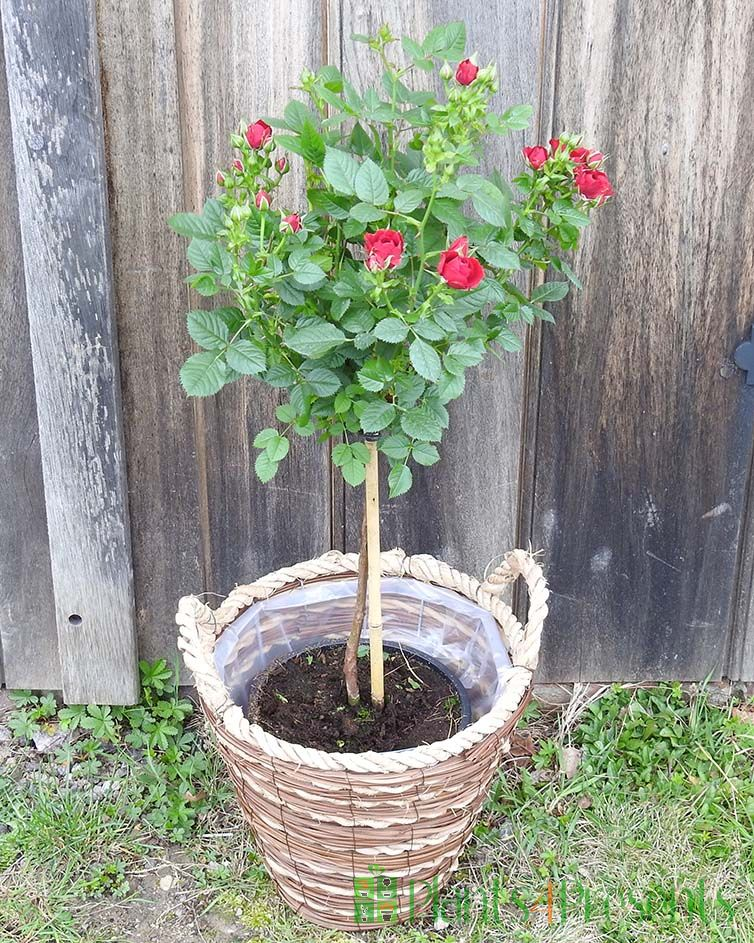 Red patio rose standard