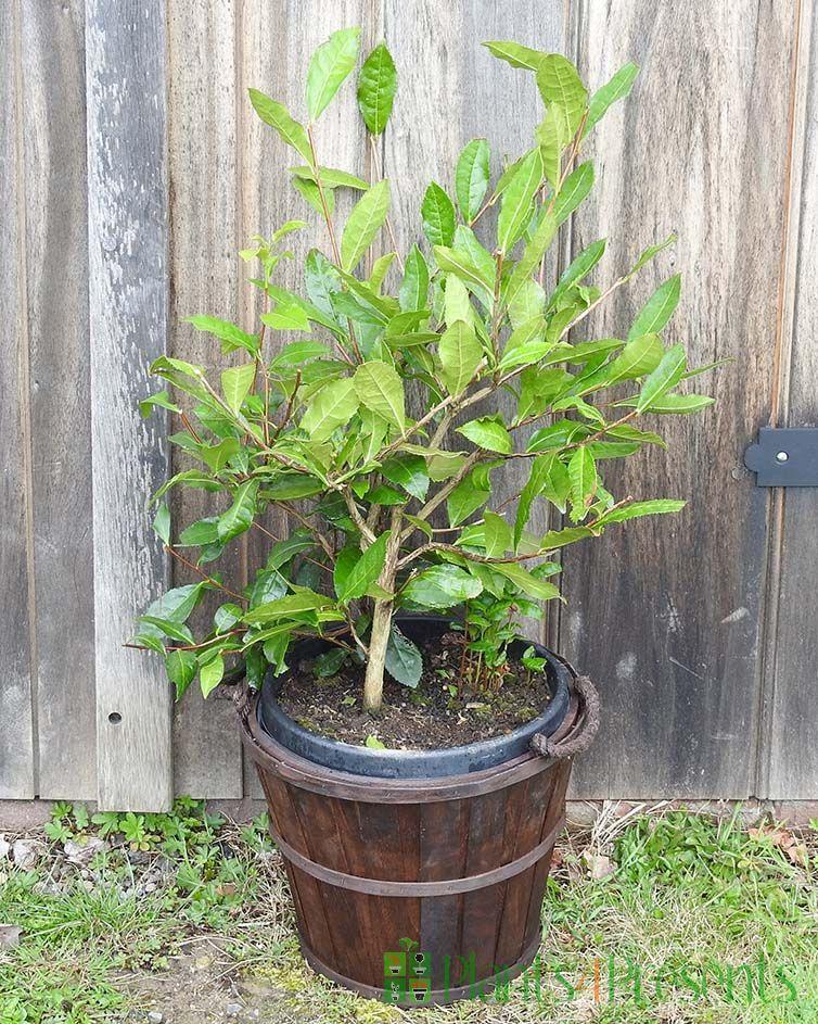 Giant Tea Bush