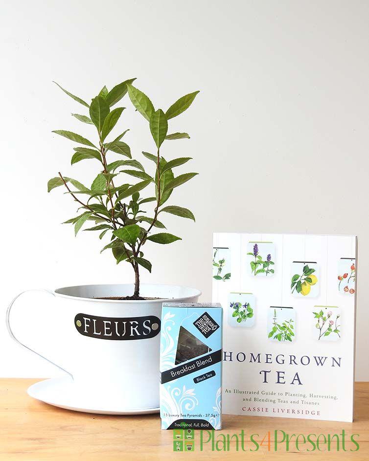 Tea Plant Gift Set