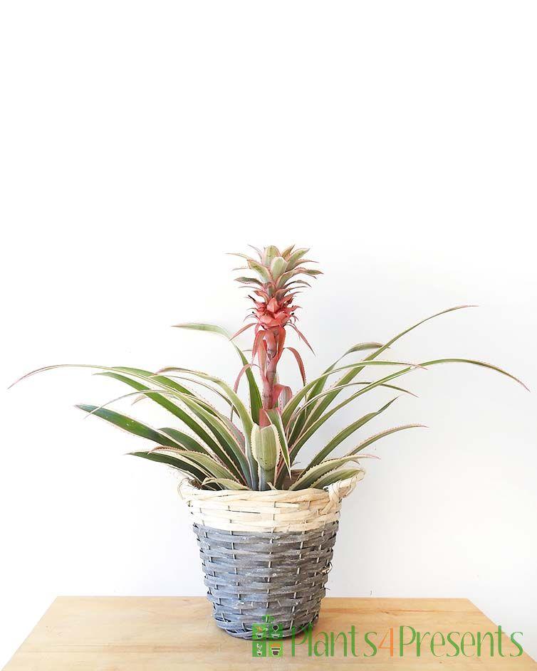 Variegated Pineapple