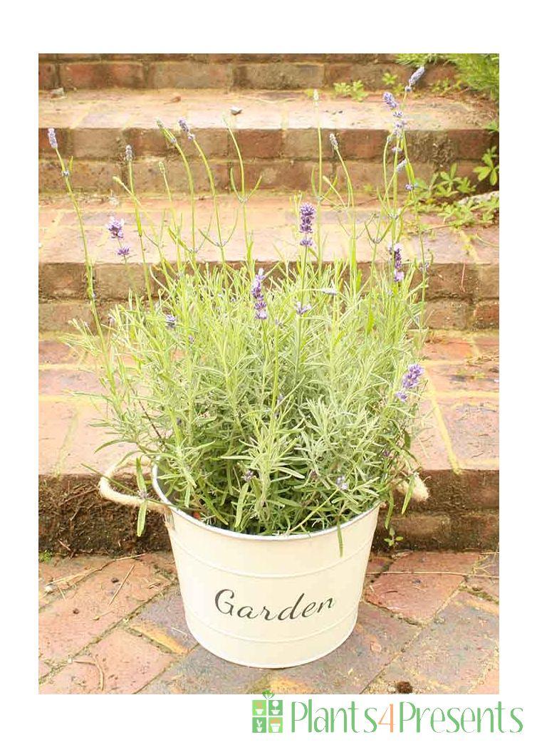 Large Lavender