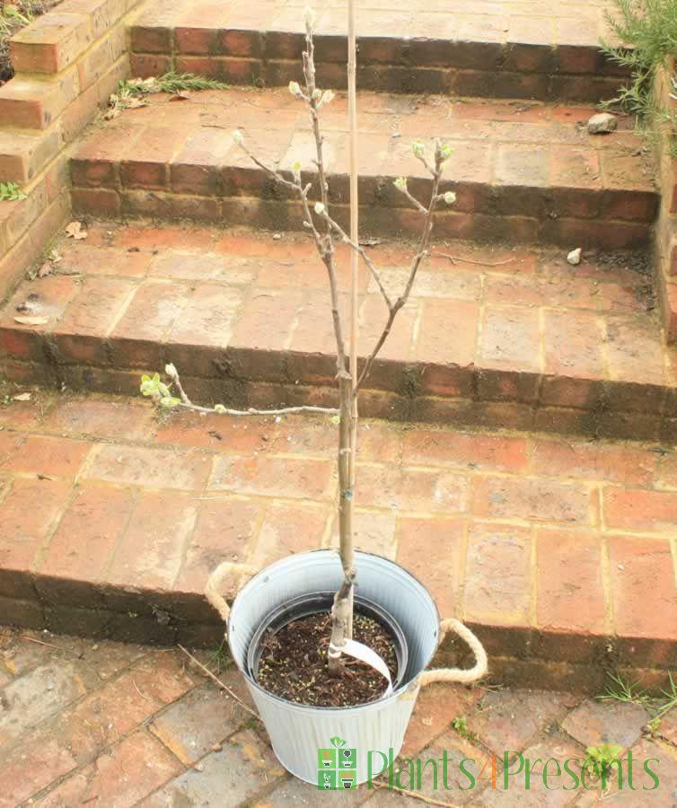 Apple Tree in Bud