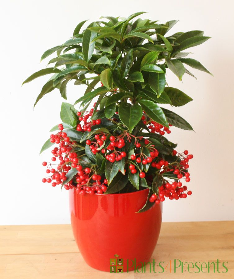 Red Coral Berry