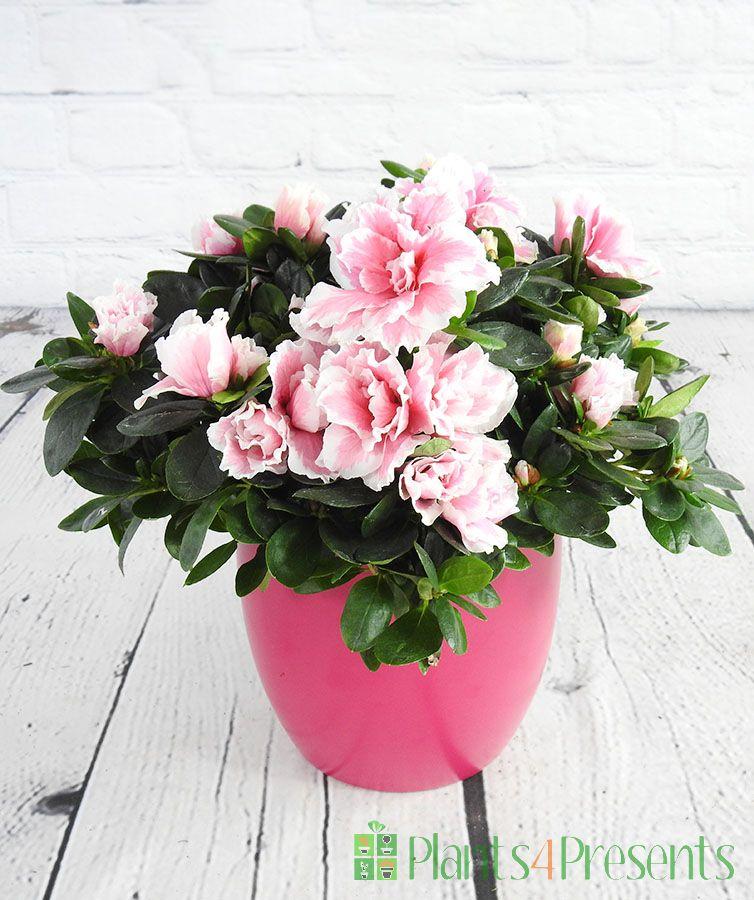 Pink and White edged Azalea