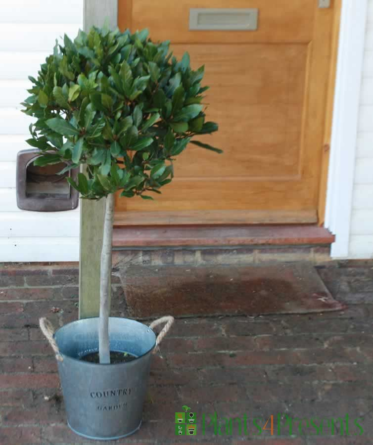 Lollipop bay tree in wicker basket