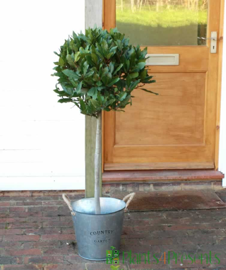Special offer on bay trees