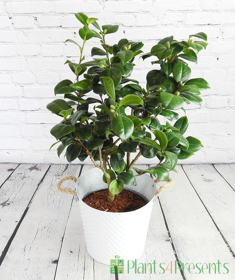 Large Camellia