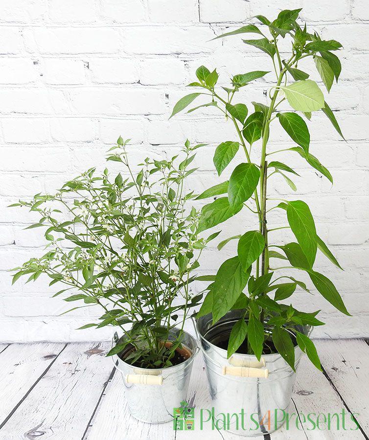 Pair of Chilli Plants