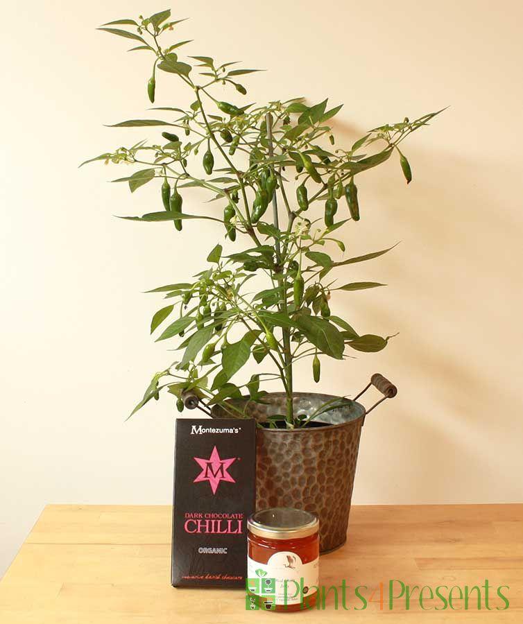 Chilli Plant Gift Set