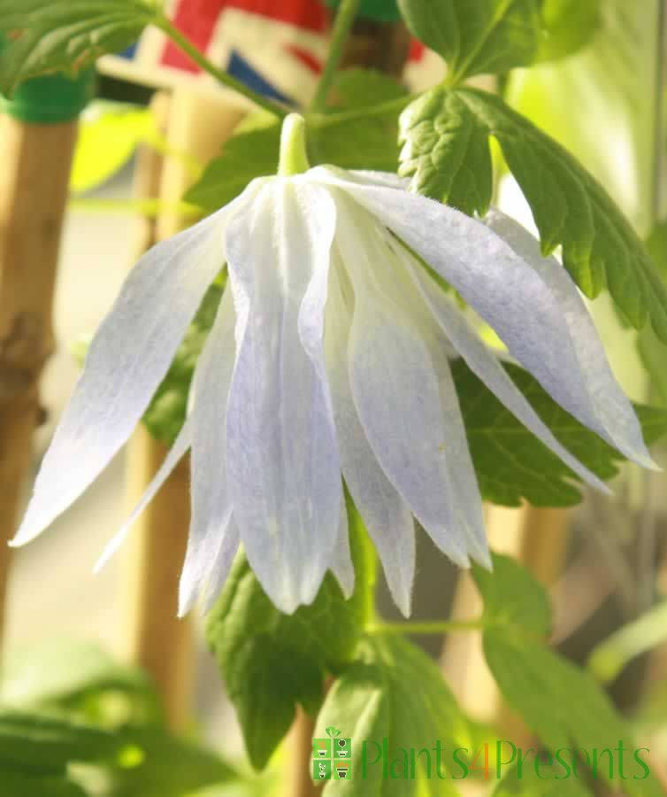 Clematis Wesselton Flower