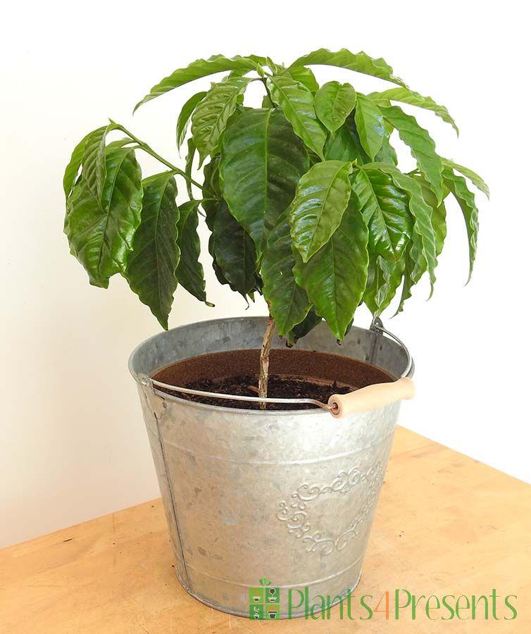Large Coffee Plant
