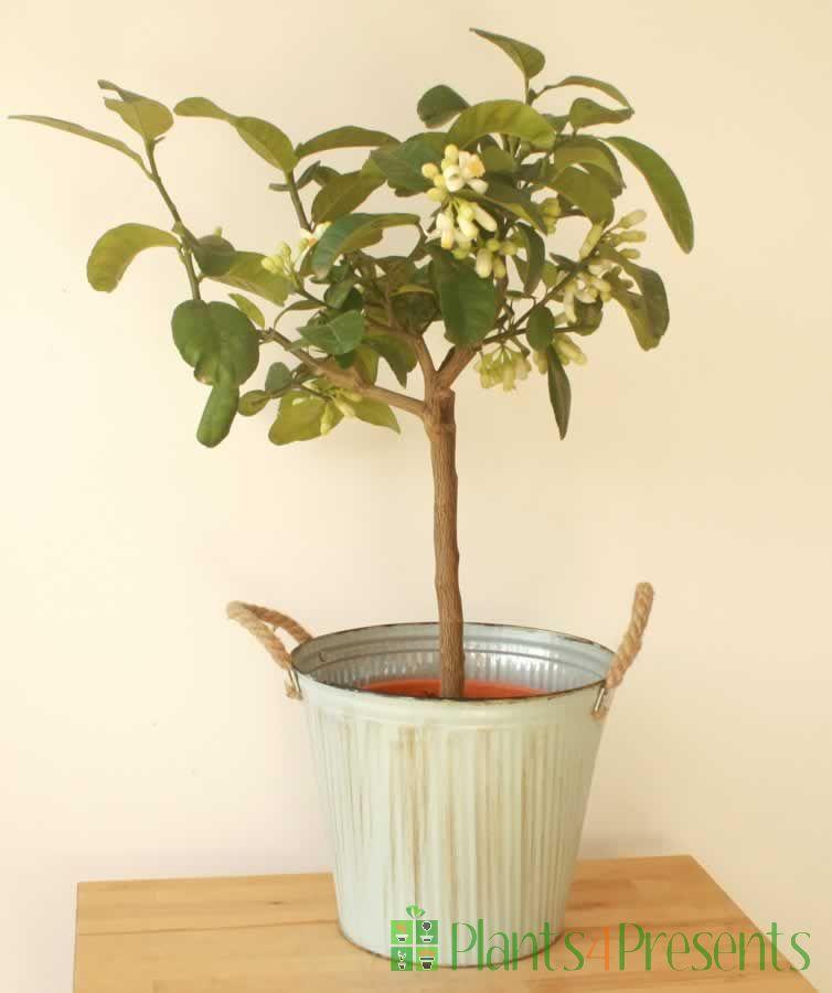 Flowering Etrog tree