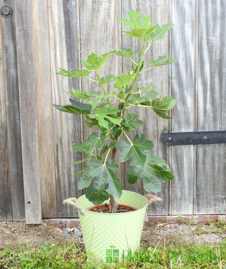 Large Fig 2020