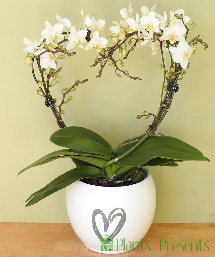 Love heart orchid 2021