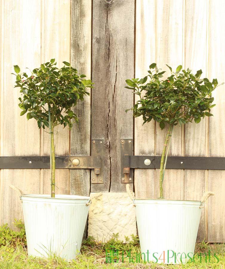 Holly Tree Pair