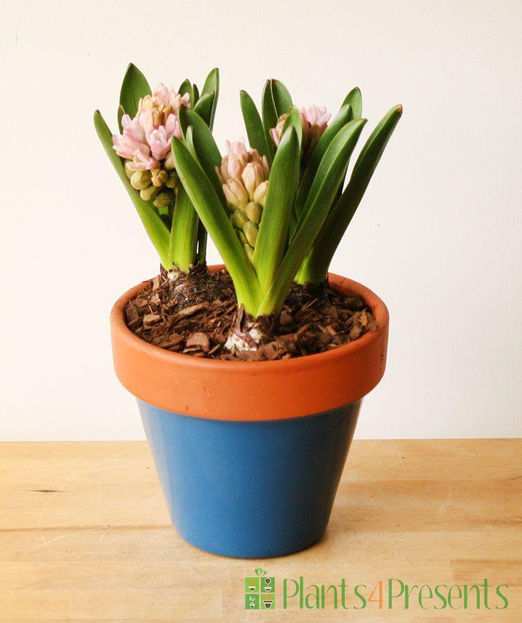 Hyacinth Pot 2018