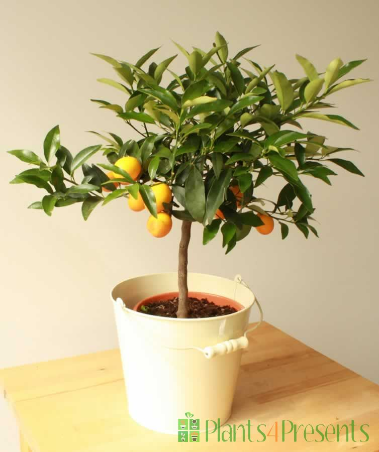 2ft kumquat