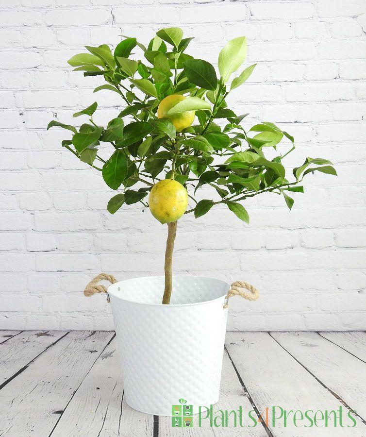 Large Lemon Meyer