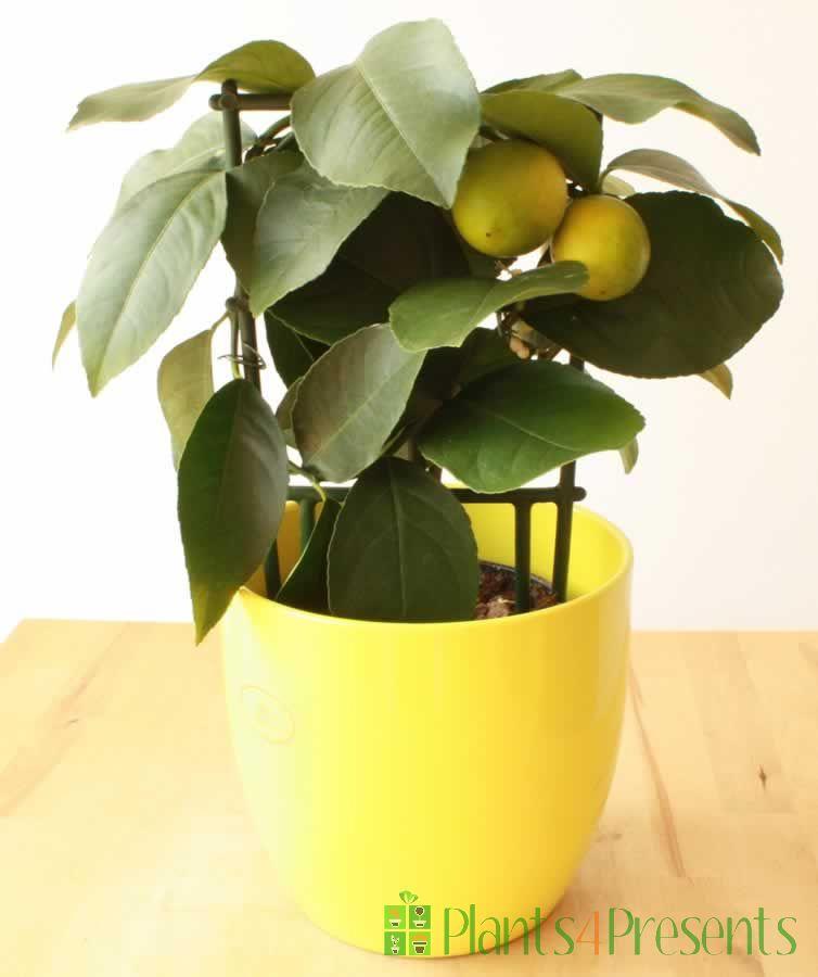 Lemon trellis