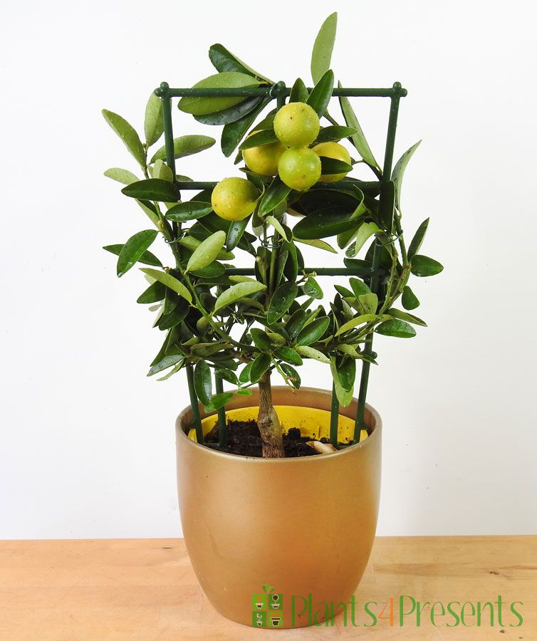 Limequat Trellis