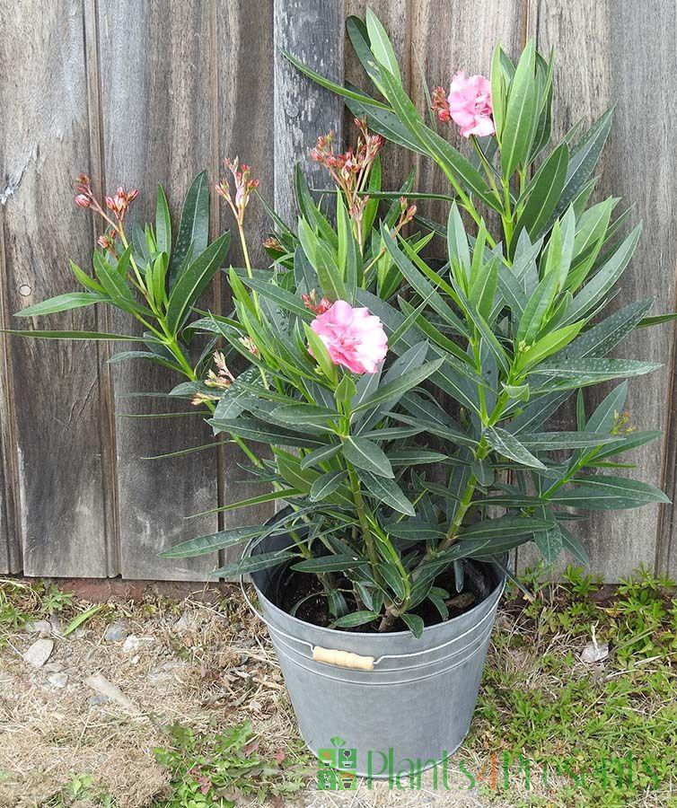 Pink double oleander