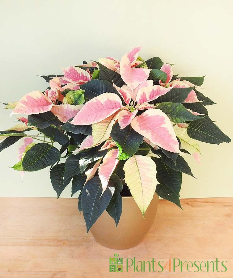 Pink and white marbled poinsettia plant