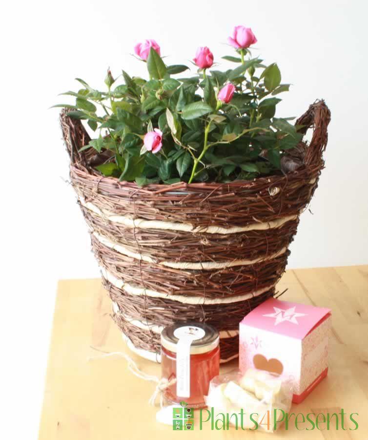 Indoor rose bush