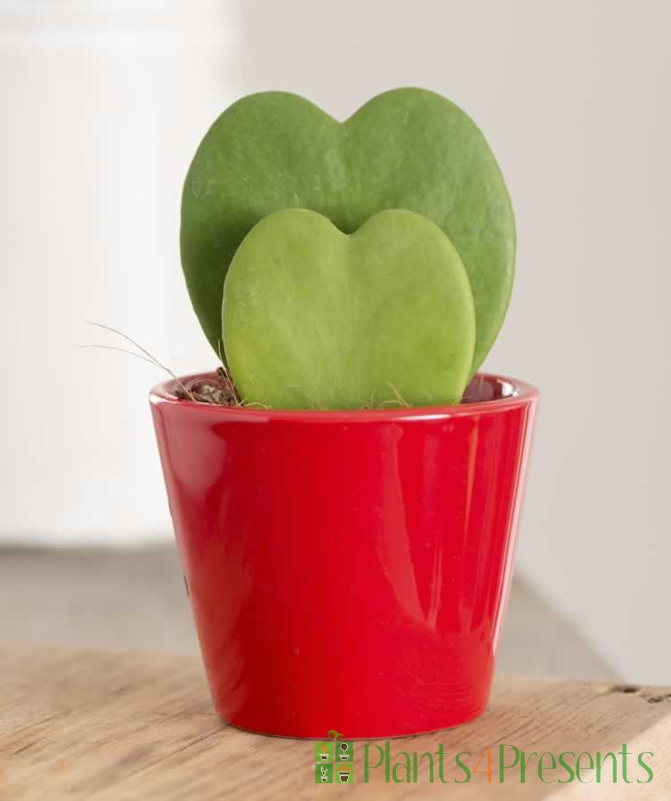 Heart Shaped Hoya