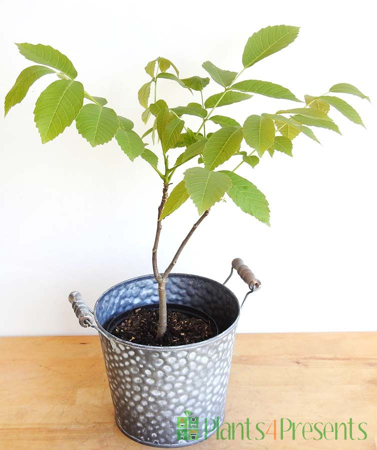 Young Walnut Tree