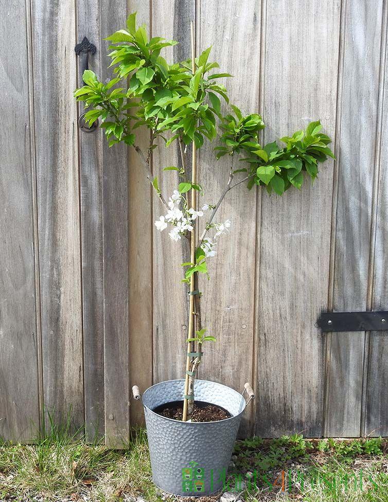 Patio Cherry Tree