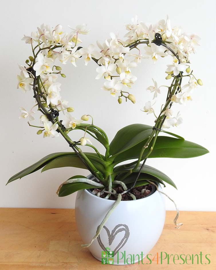 Love Heart Orchid