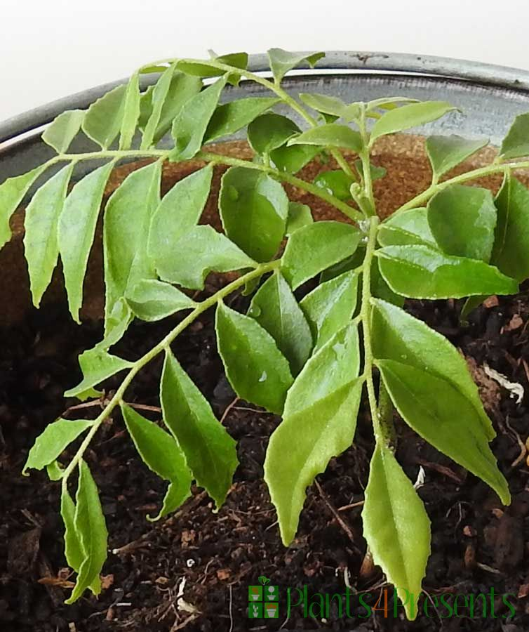 Curry Leaf Plant