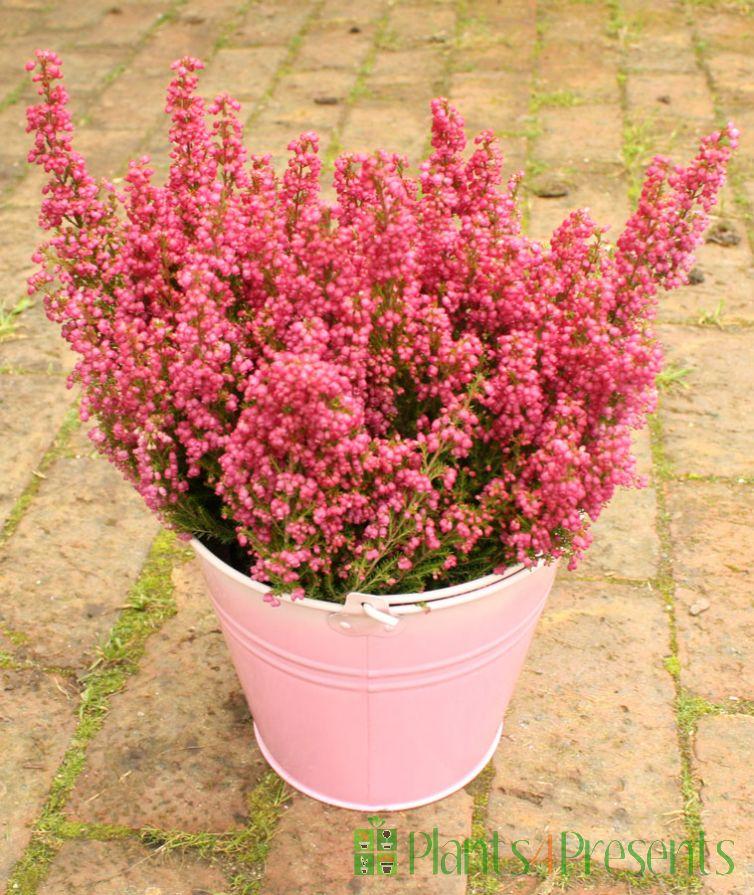 Heather Plant Gift