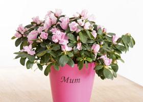 Mothers Day Azalea