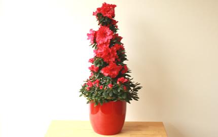red azalea pyramid